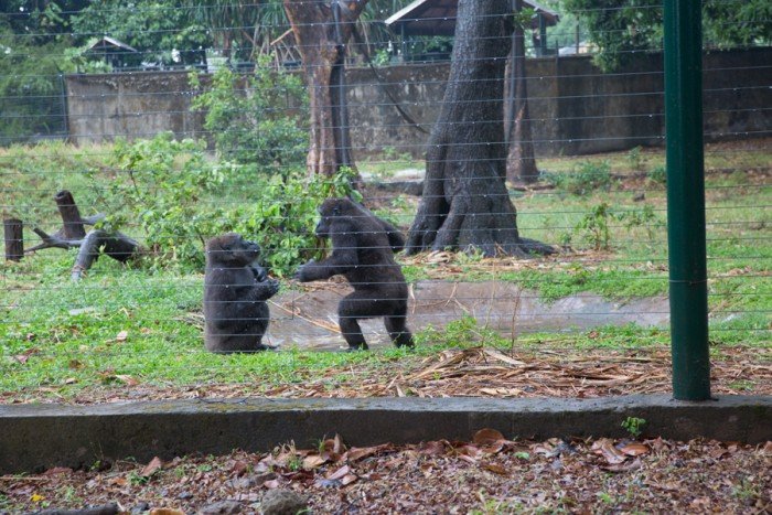 Gorillas at Wildlife Center in Limbe