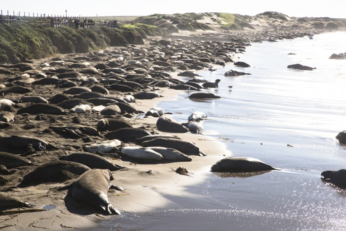 Elephant Seals can be spotted on the route, located just past Cambria.